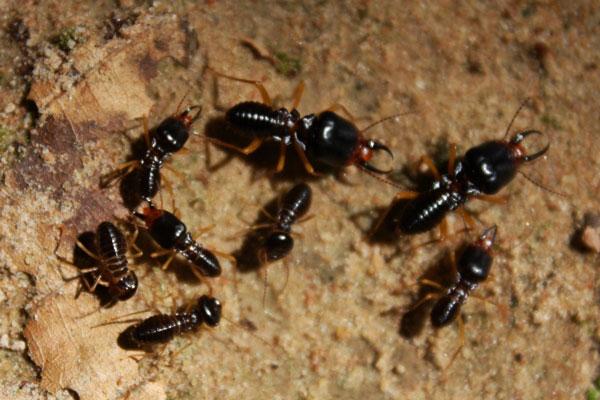 traitement contre les termites m thodes prix devis en ligne. Black Bedroom Furniture Sets. Home Design Ideas